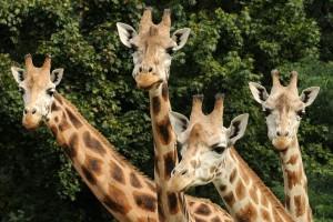 Giraffen in Zoo Olomouc